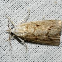 Calamotropha paludella