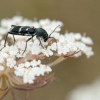 Cerambycidae - Kózkowate