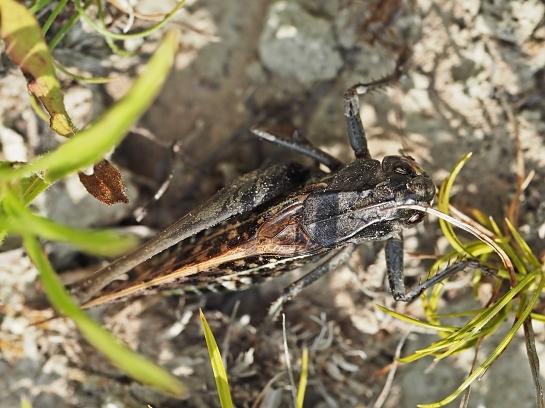 D.verrucivorus