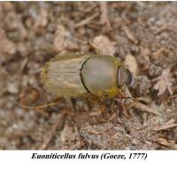 Scarabaeidae - Poświętnikowate