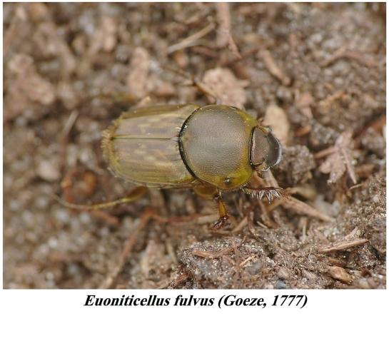 E.fulvus