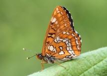 E.maturna