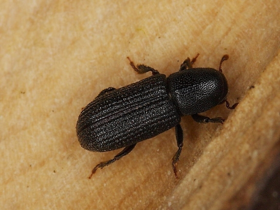 Hyl.cunicularius