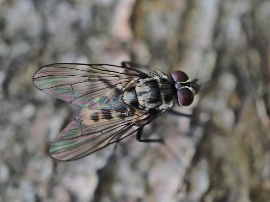 L.maculosa