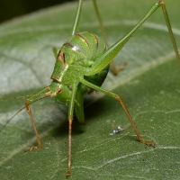 Tettigoniidae - Pasikonikowate