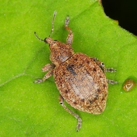 Curculionidae - Ryjkowcowate