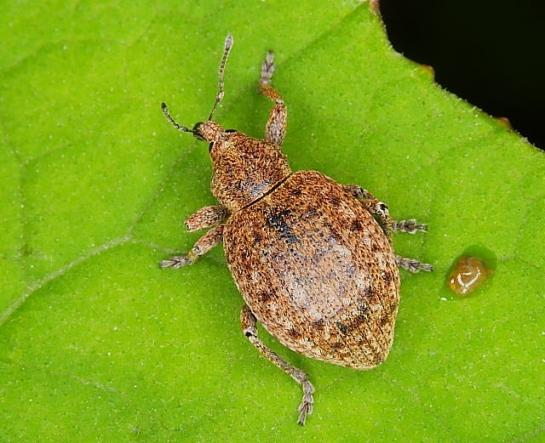 Neoglanis species