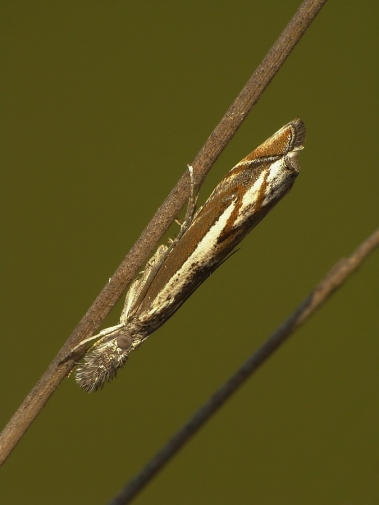 P.alpinella