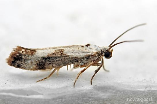 Pr.fraxinella