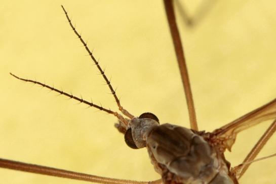 T.paludosa antenna head $ pronotum