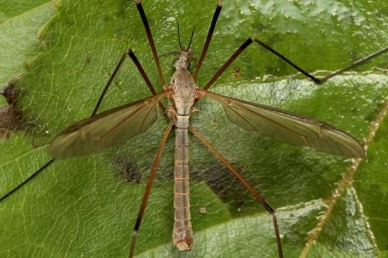 T.paludosa