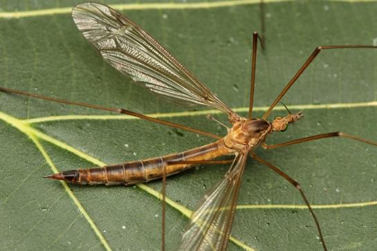 Tip.peliostigma