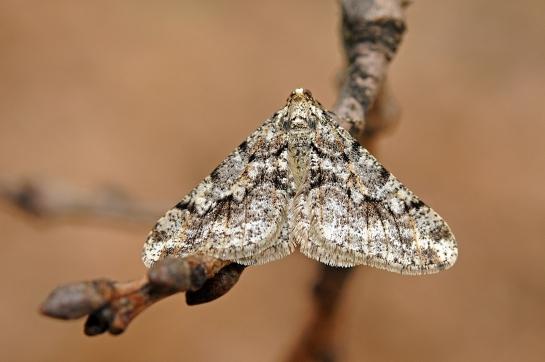 A.leucophaearia