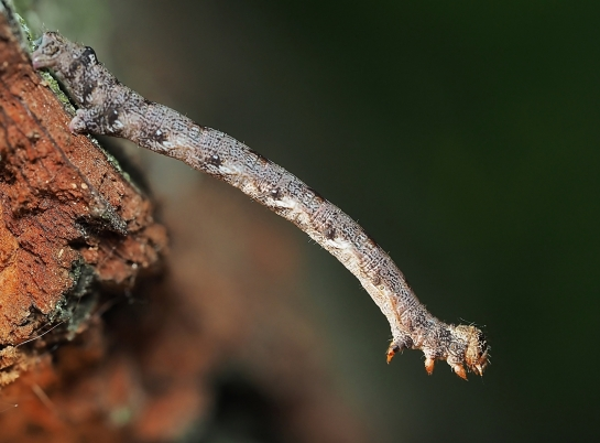 A.marginaria