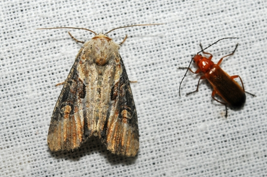A.ophiogramma