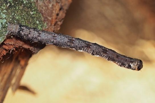 Ag.marginaria