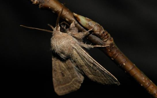 Agr.macilenta