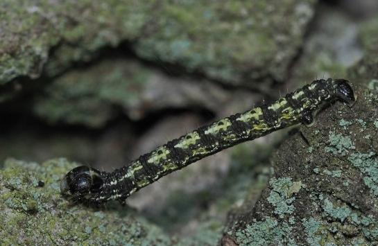 Agriopis caterpillar