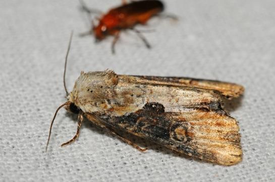Ap.ophiogramma