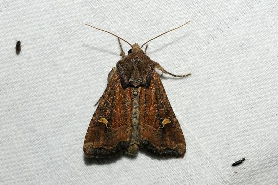 H.leucostigma