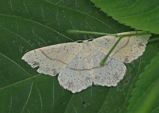 C.punctaria