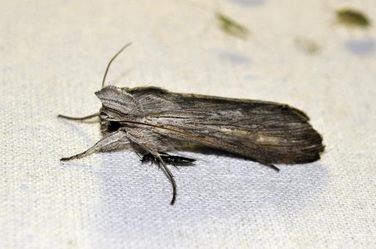 C.umbratica