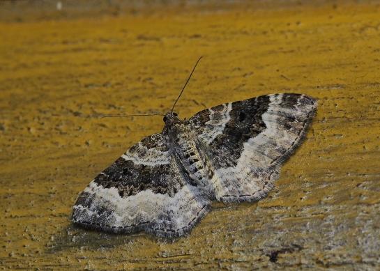 E.alternata