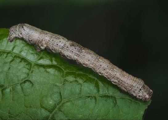 E.crepuscularia