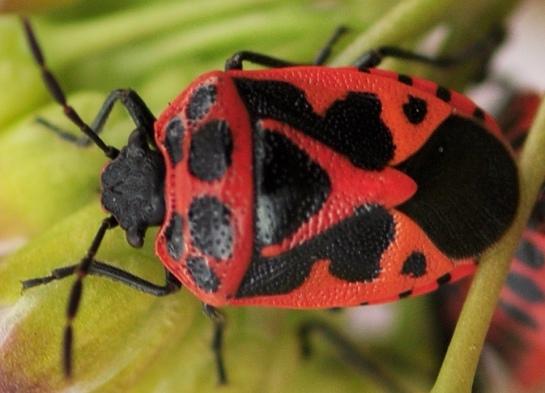 E.dominulus