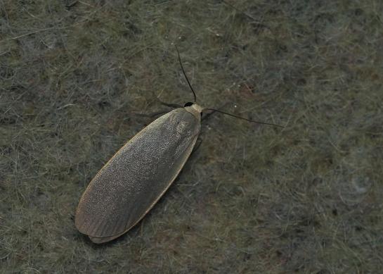 E.griseola