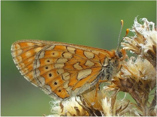 Euphydr.aurinia