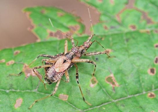 H.apterus in copula