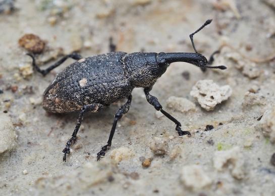L.palustris