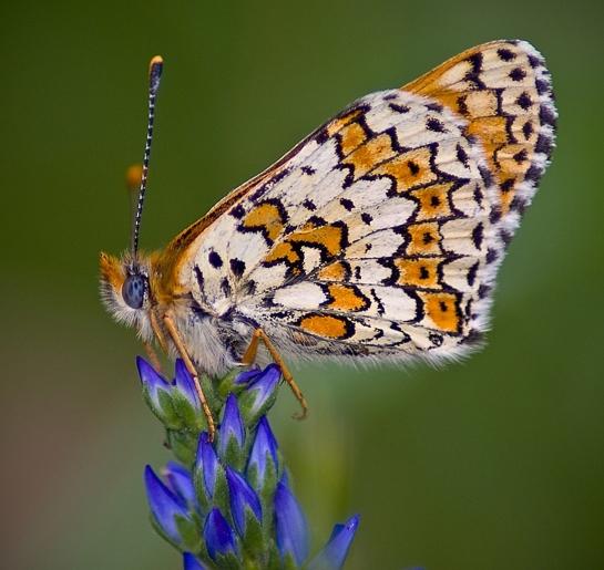 M.cinxia