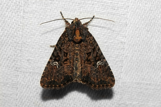 M.secalis