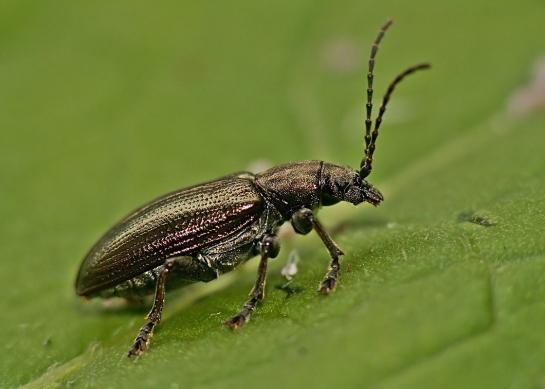 P.consimilis