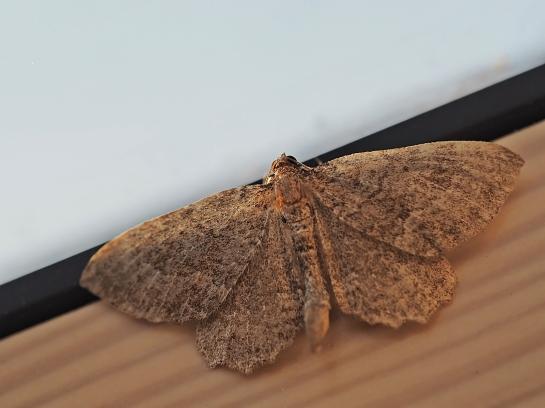P.vetulata