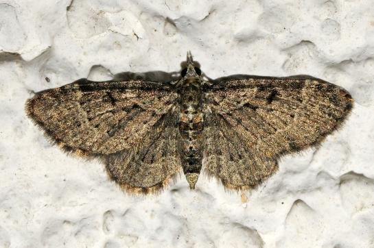 Rh.chloreata