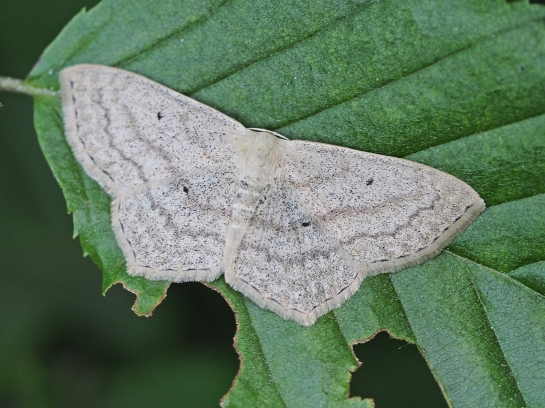Sc.nigropunctata