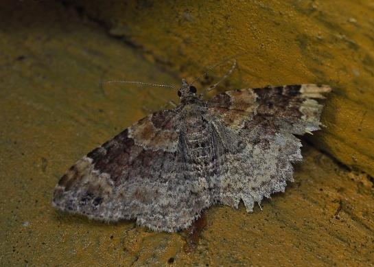 X.spadicearia
