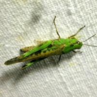 Acrididae - Szarańczowate