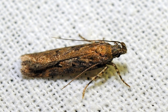 Ch.distinctella