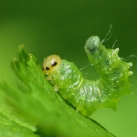 Tenthredinidae - Pilarzowate