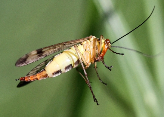 P.cognata