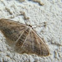 Scopula marginepunctata - Wątlak brzegokropek