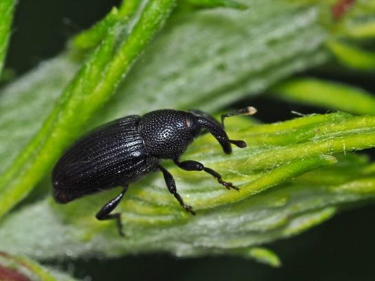 b.artemisiae