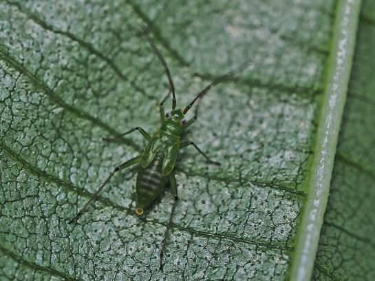 blepharidopterus nymph