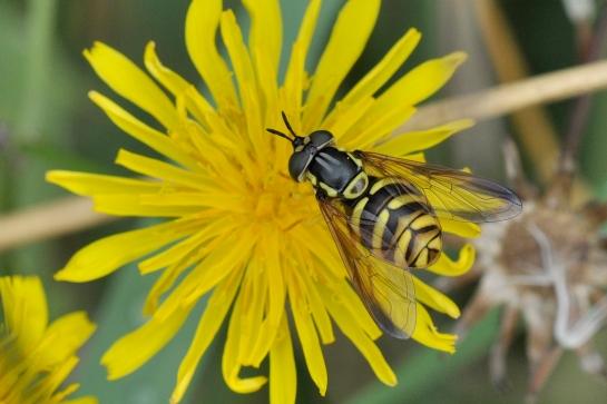c.fasciolatum