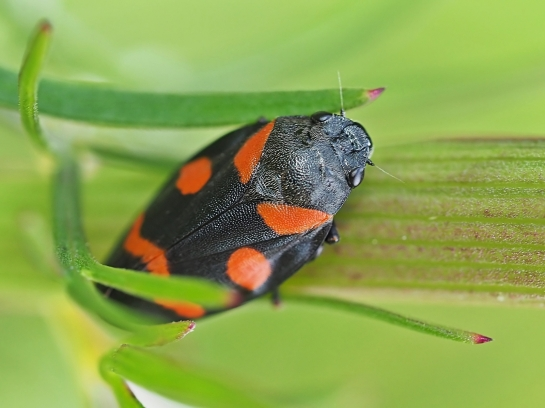 c.sanguinolenta