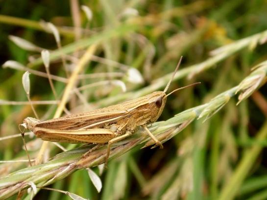 ch.albomarginatus